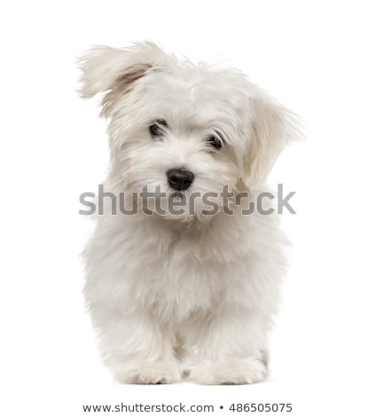four cute puppy dogs on white background stock photo © feedough
