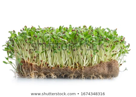Fresh alfalfa sprouts and cress on white background stock photo © wjarek