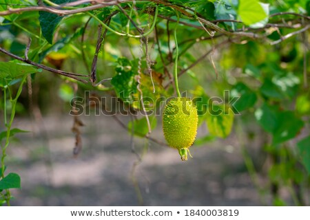 fresh tasty prickly pear on tree outside in summer Stock photo © juniart