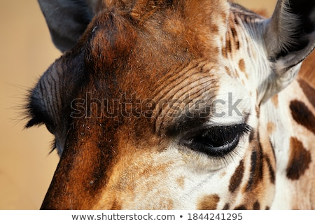 Giraffe Close Up Stock photo © ajn