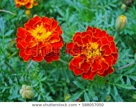 Colorful Tagetes Patula (French Marigold) Flowers Stock photo © tainasohlman