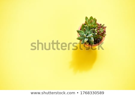 yellow succulent flower Stock photo © stocker
