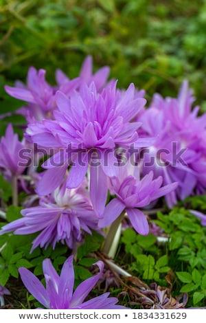 Paars weide saffraan botanische tuin natuur tuin Stockfoto © Johny87