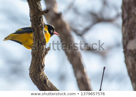 Black-naped Oriole of Eastern Asia stock photo © feverpitch