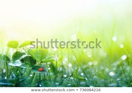 Katicabogár friss fű tavasz absztrakt levél Stock fotó © Nejron