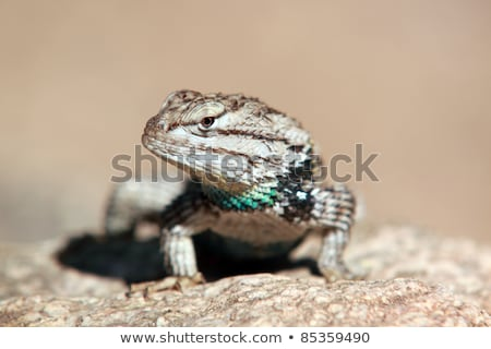 砂漠 トカゲ タッチ 手 皮膚 動物 ストックフォト © stocker