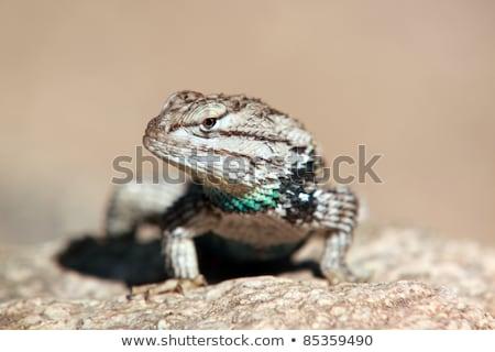 Woestijn hagedis touch handen huid dier Stockfoto © stocker