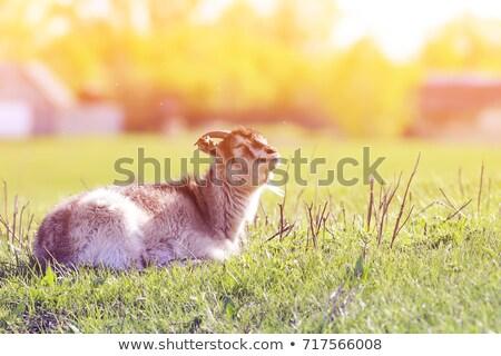 cabra · grama · verde · pequeno · branco · fresco · primavera - foto stock © jonnysek