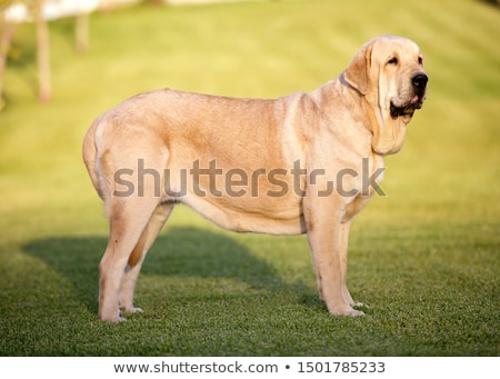 Spanish mastiff. Stock photo © asturianu