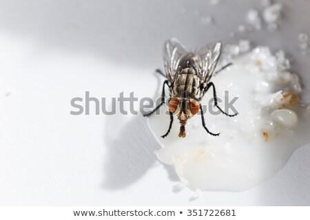 Légy eszik nektár pici fehér virágok virág Stock fotó © AlessandroZocc