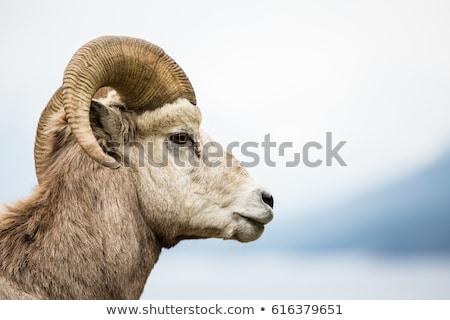 羊 · 白 · 聖書 · 肖像 · 動物 - ストックフォト © michaklootwijk