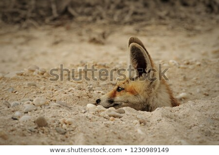 Young Red Fox out exploring Stock photo © jeffmcgraw