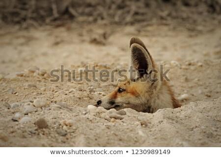 молодые · Fox · играет · Саскачеван · Канада - Сток-фото © jeffmcgraw