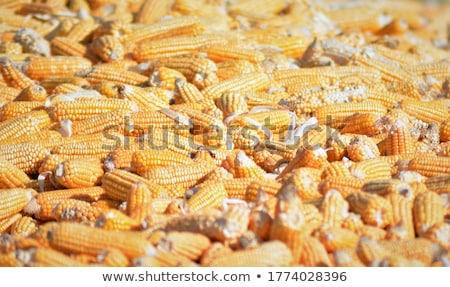 Freshly picked ear of corn, sweet maize cob Stock photo © stevanovicigor