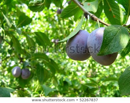 Maduro naturalismo escuro fruto Foto stock © OleksandrO