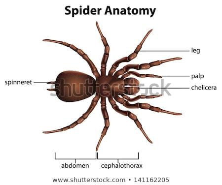 Pók anatómia illusztráció rajz selyem láb Stock fotó © bluering