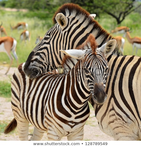 Genç zebra anne anne ayakta birlikte Stok fotoğraf © albertdw