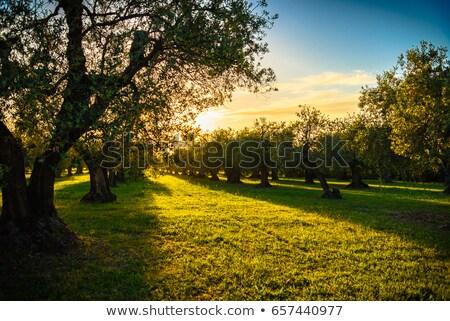 De oliva árboles Toscana Italia puesta de sol sol Foto stock © photocreo