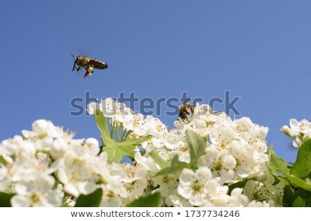 Stock photo: Honeybee collecting nectar