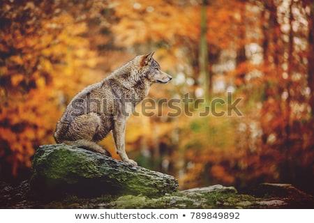 Tier Wolf schwarz stehen schauen Gesicht Stock foto © OleksandrO