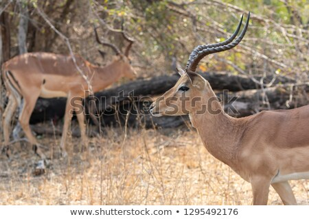 Side profile of an Impala in the Kruger. Stock photo © simoneeman