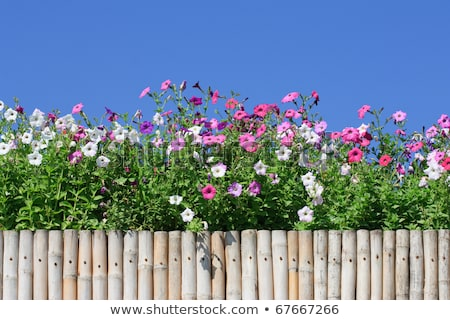 A bamboo fence with flowering plants Stock photo © bluering