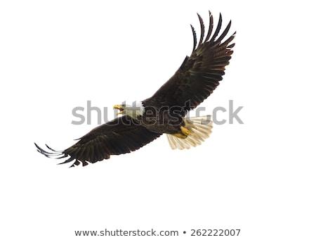 eagle on white background Stock photo © Istanbul2009