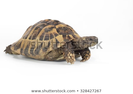 Greek land tortoise, Testudo Hermanni, white studio background Stock photo © AvHeertum