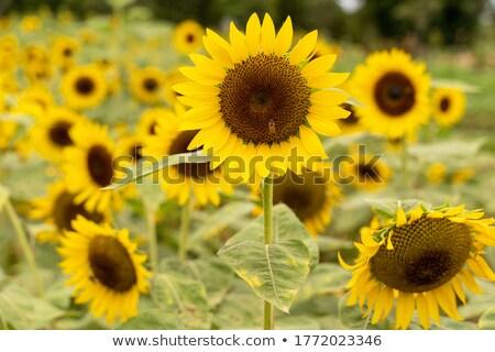 girassóis · grama · grande · flor · amarelo · branco - foto stock © bluering