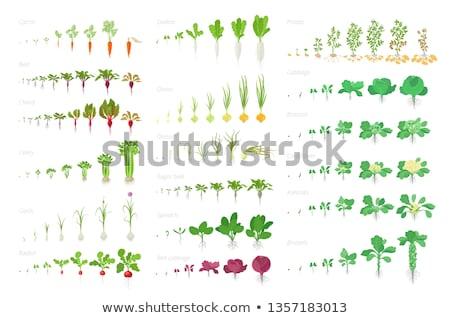 Growing Carrots Stock photo © naffarts