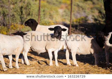 Owiec baranka gospodarstwa stodoła rolnictwa młodych Zdjęcia stock © stevanovicigor