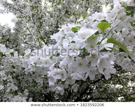 Voorjaar bomen bloei klein witte bloemen Stockfoto © Klinker