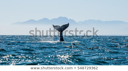 blue whale is largest marine mammal stock photo © orensila