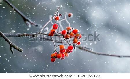 Autumn Tree With Red Berries Stock Photo C Andriy Bezuglov