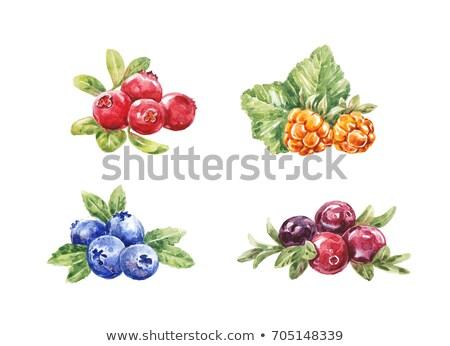 Photo stock: Canneberges · blanche · couleur · pour · aquarelle · illustration · isolé · peinture
