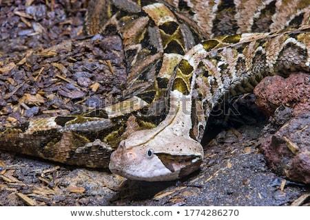 Venenoso terreno europeu em pé retrato serpente Foto stock © taviphoto