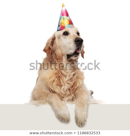 surprised birthday labrador with paws hanging looks up to side Stock photo © feedough