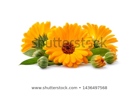 Orange calendula flowers with green leaves Stock photo © colematt