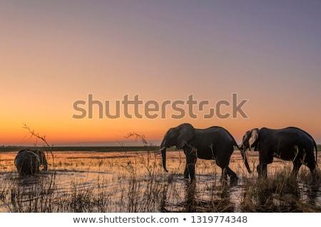 Afrikai elefánt Botswana szafari vadvilág fenséges park Stock fotó © artush