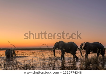 África · sabana · elefantes · puesta · de · sol · árbol · África - foto stock © artush