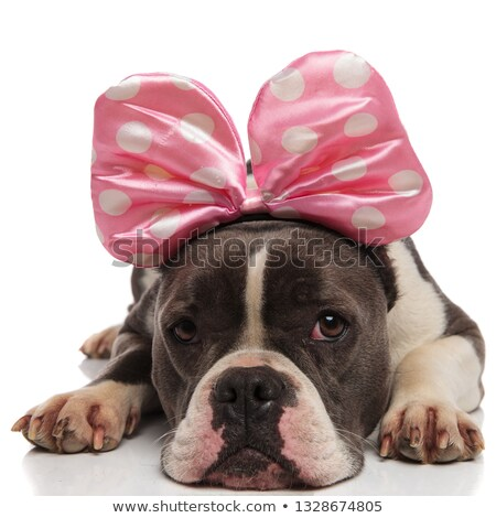 Stock photo: cute american bulldog wearing ribbon headband for halloween rest