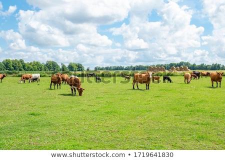 Colorful farm summer landscape, blue clear sky with sun, cows on field Stock photo © MarySan