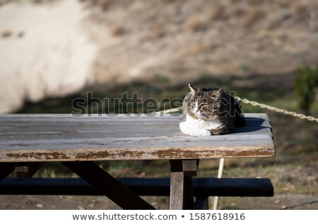 Tabby cat relaxing on a garden table in sunshine stock photo © Giulio_Fornasar