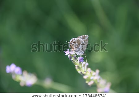 butterfly over lavender flowers close up of flower field background stock photo © x-etra