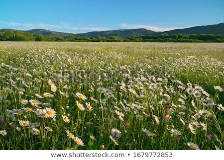 alan · çayır · bahar · beyaz · papatyalar - stok fotoğraf © paha_l
