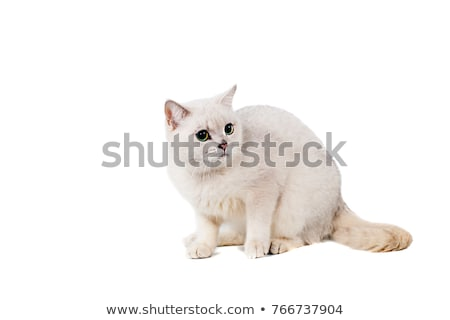elegant burmese cat lying and looking to side Stock photo © feedough
