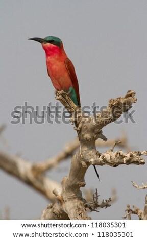 Southern carmine bee-eater sitting on a branch. Stock photo © simoneeman