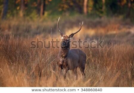 Masculino veado parque Índia alimentação árvore Foto stock © dmitry_rukhlenko