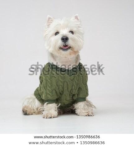 Stock photo: white west highland terrier portait in studio