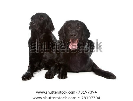 two flat coated flatcoat flattie retriever dogs stock photo © eriklam